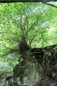 Schluchtensteig Baum auf Fels