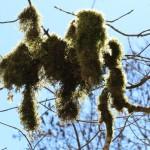 IMG_1536_moos an den bäumen