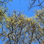IMG_1538_blühende bäume