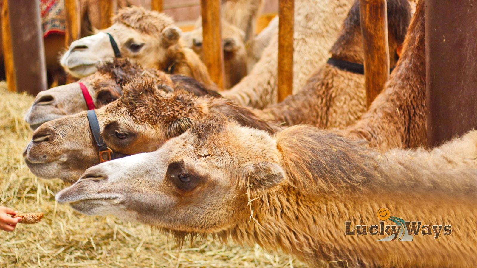 Globetrottertreffen 2017 Kamele im Stall bei Bayern-Kamele
